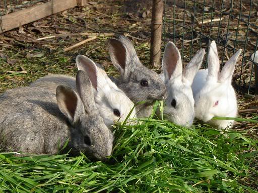 Curso de cría de conejos